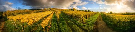 Photo pour Panoramic vineyard landscape before sunset in autumn, with gold grapevines and some dark clouds illuminated with warm colors - image libre de droit