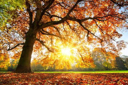 Photo pour Beautiful oak tree on a lawn with the setting autumn sun shining warmly through its leaves - image libre de droit