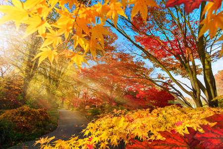 Photo pour Colorful change of season in a park: autumn scenery with Japanese maple and other trees, with blue sky and lit by rays of sunlight - image libre de droit