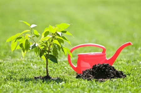 small tree and red watering can