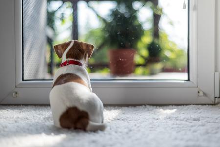 Photo pour jack russel puppy on white carpet - image libre de droit