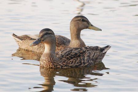 Black ducks looking opposite ways