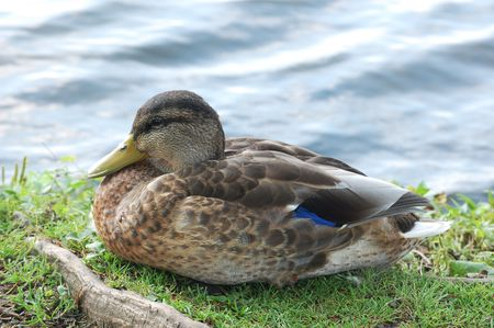 black duck in the grass