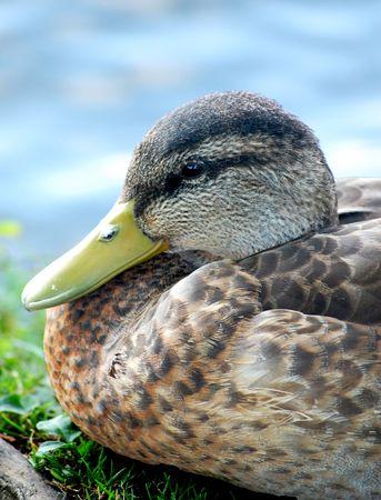 Black duck head close-up
