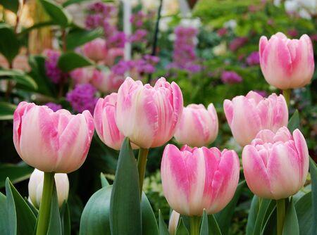 Pink tulips in botanical garden, Ann Arbor, MI