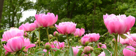 Photo for Collection of Suzette peonies on green background - Royalty Free Image