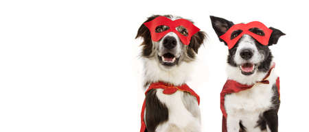 Photo pour banner two super hero dogs puppy costume celebrating carnival or halloween wearing a red mask and cape. Isolated on white background. - image libre de droit