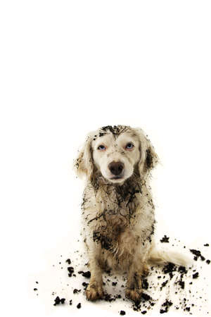 Photo pour DIRTY DOG AFTER PLAY IN A MUD PUDDLE. ISOLATED STUDIO SHOT ON WHITE BACKGROUND. - image libre de droit