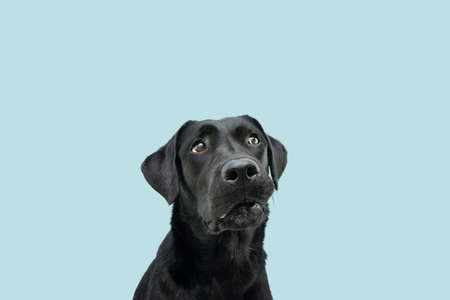 Photo for Funny black labrador dog looking up giving you whale eye caught red-handed with guilty expression. Isolated on colored blue background. - Royalty Free Image