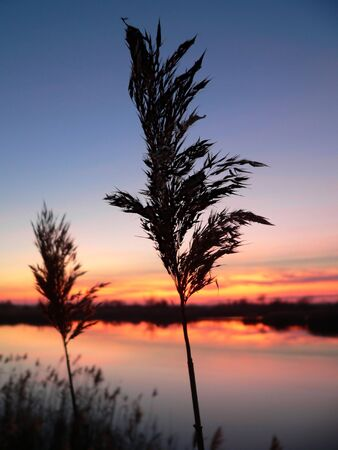 reed (phragmites australis) silhouettes with beautiful sunrise