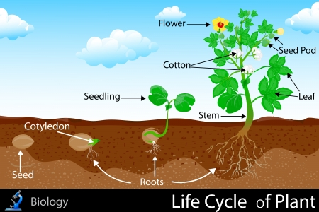 Life Cycle of Plant
