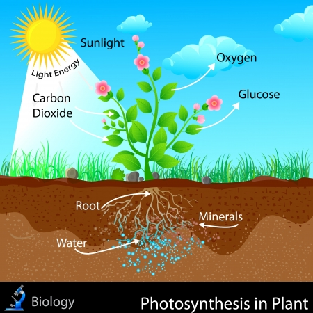 Illustration for Photosynthesis in Plant - Royalty Free Image