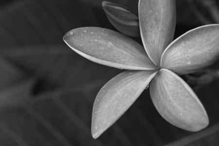 black and white tropical flowers frangipani (plumeria)