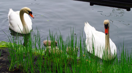 Swans Family with chicks