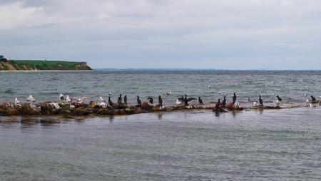 Cormorants and gulls on stones