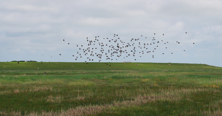 Over a salt meadow of the North Sea flying birds