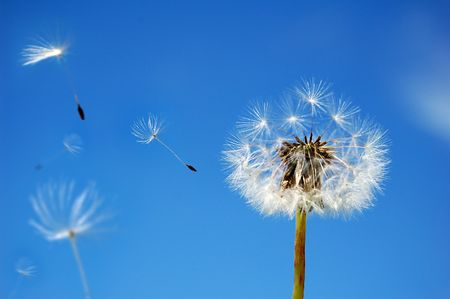 A Dandelion blowing its seed in the wind.