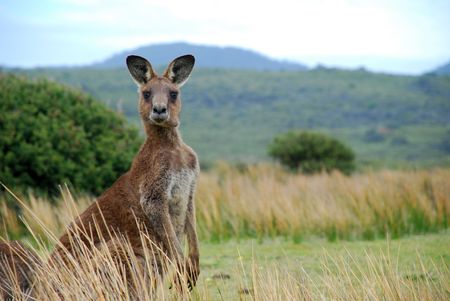 Photo for Wild kangaroo in outback - Royalty Free Image
