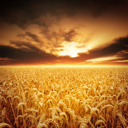 Photo for Golden fields of beautiful wheat. - Royalty Free Image