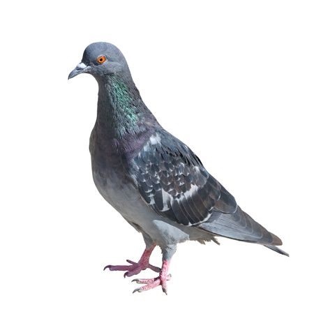 Photo pour One grey pigeon isolated on white background - image libre de droit