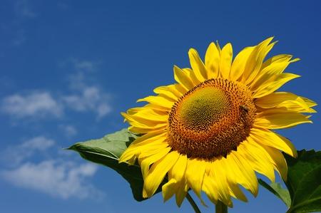 Foto für big sunflowers and bees against the sky - Lizenzfreies Bild