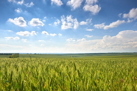 Photo pour spring landscape - agricultural field with young ears of wheat, green plants and beautiful sky - image libre de droit