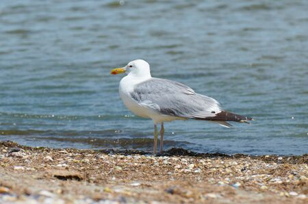 Foto de sea gull - closeup of one bird stands on wild beach near sea - Imagen libre de derechos