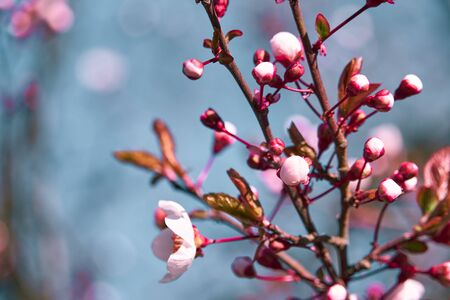 Photo pour bright pink and white flowers on trees, blooming, spring landscape, beautiful background - image libre de droit