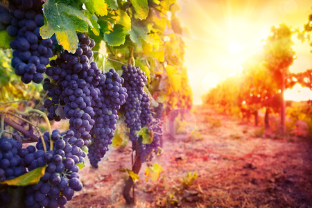 Photo pour vineyard with ripe grapes in countryside at sunset - image libre de droit