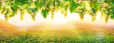 Photo pour Viticulture At Sunset - White Hanging Grapes In Vineyard - image libre de droit