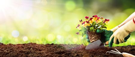 Foto de Gardening - Planting Pansy In A Sunny Garden - Imagen libre de derechos