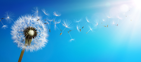 Foto de Dandelion With Seeds Blowing Away Blue Sky - Imagen libre de derechos