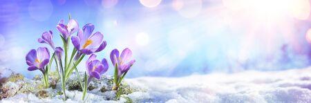 Photo pour Crocus Flowers Grow In Melt Snow - image libre de droit