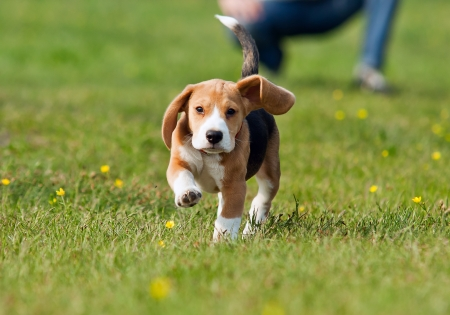 Running beagle puppy with flying ears at the walk
