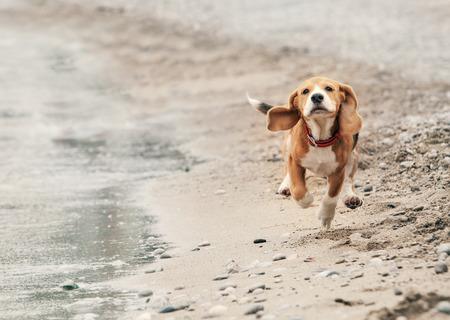 Beagle puppy running on the sea beach