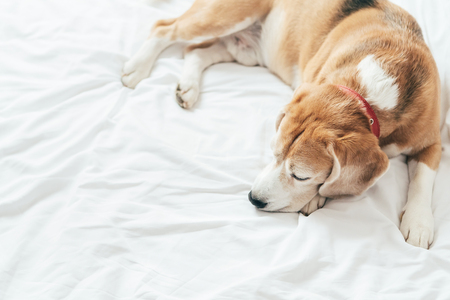 Photo pour A top view of the beagle dog sleeps on the clear white bed sheet - image libre de droit