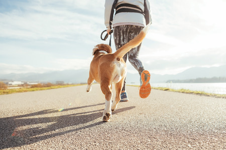 Foto de Female starting the morning jogging  with his beagle dog by the asphalt running track. Bright sunny Morning Canicross exercises. Close up legs image - Imagen libre de derechos