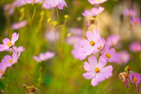 beautiful  pink  Cosmea on a green background