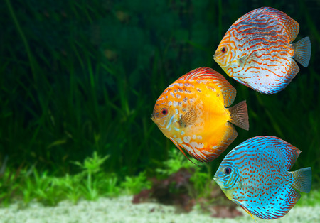 Photo for Three bright discus, freshwater fish native to the Amazon River, in aquarium - Royalty Free Image