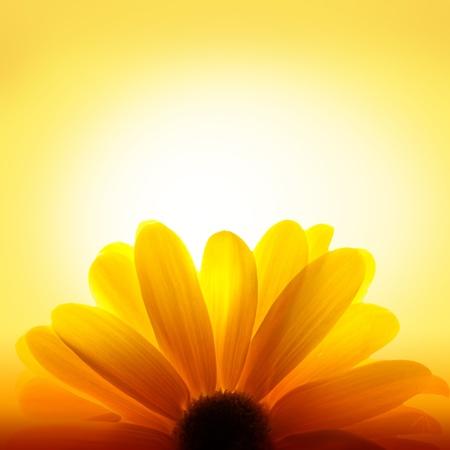 Macro shot of sunflower on yellow background