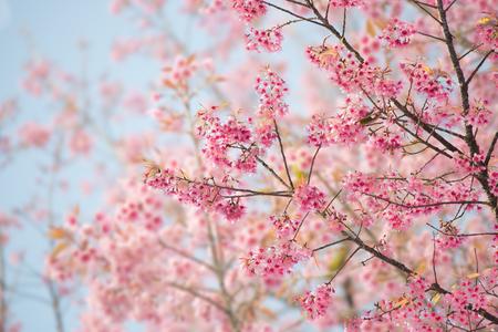 Photo pour Sakura Flower or Cherry Blossom With Beautiful Nature Background - image libre de droit