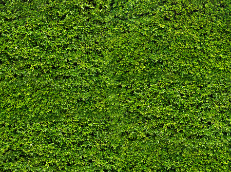 Foto per Natural fresh green leaf wall, eco friendly background and texture - Immagine Royalty Free