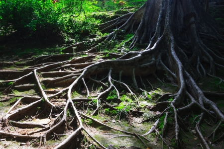 the tree roots spreading on the ground