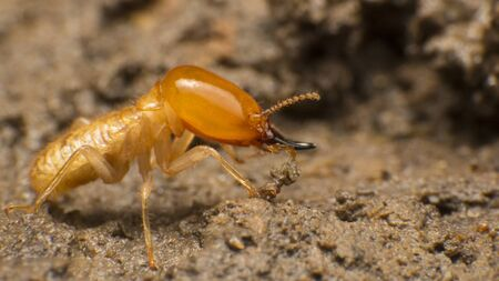 Foto de Close up termite soldiers are guarding the nest, Subterranean termites are the pest that will cause damage or destruction. If there is no control, They destroy the old wood rotting of the house - Imagen libre de derechos