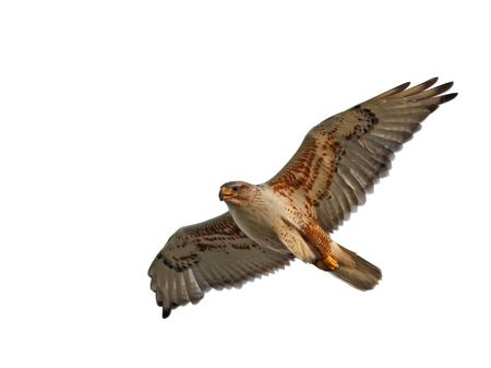 A Ferruginous Hawk flying with wings spread.