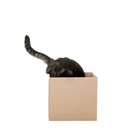 A curious tabby cat checking out a cardboard box    Shot on white background