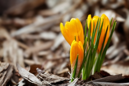 One of the very first flowers to herald in spring, this little crocus delights us with it