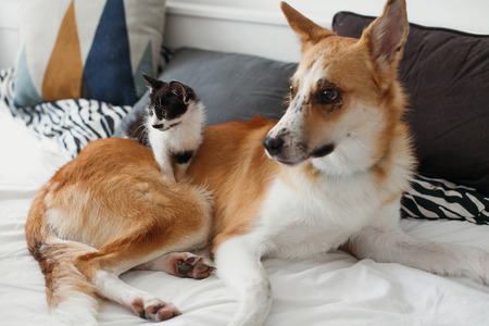 cute kitty and golden dog playing on bed with pillows in stylish room. adorable black and white kitten and puppy with funny emotions having fun on blanket. cozy home
