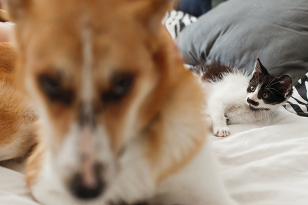 cute little kitty sleeping and big golden dog looking, on bed with pillows in stylish room. adorable black and white kitten and puppy with funny emotions resting together on blanket