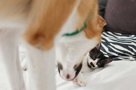 golden dog playing with cute kitty on bed with pillows in stylish room. adorable black and white kitten and puppy with funny emotions having fun on blanket. cozy home, adoption concept